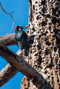 "Male acorn woodpecker with ""granary tree"" full of acorns Source: (Johnath/Wikipedia.com)"