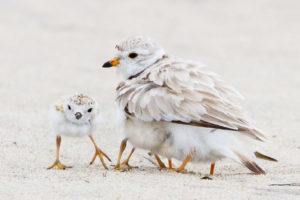 Adult Piping Plover and chicks. Photo: Sandy Selesky/Audubon Photography Awards