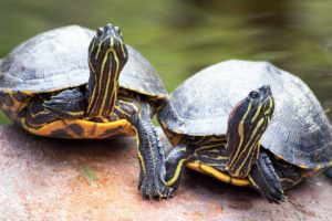 Turtles holding hands :-)Jacksonville Zoo and Gardens