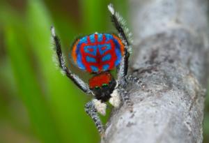 The new peacock spider Maratus bubo, so named for its owl-like ornamentation  PHOTOGRAPH BY JURGEN OTTO/NATGEO